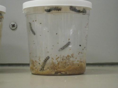 small caterpillars